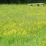 Basted Open Mills creeping buttercup