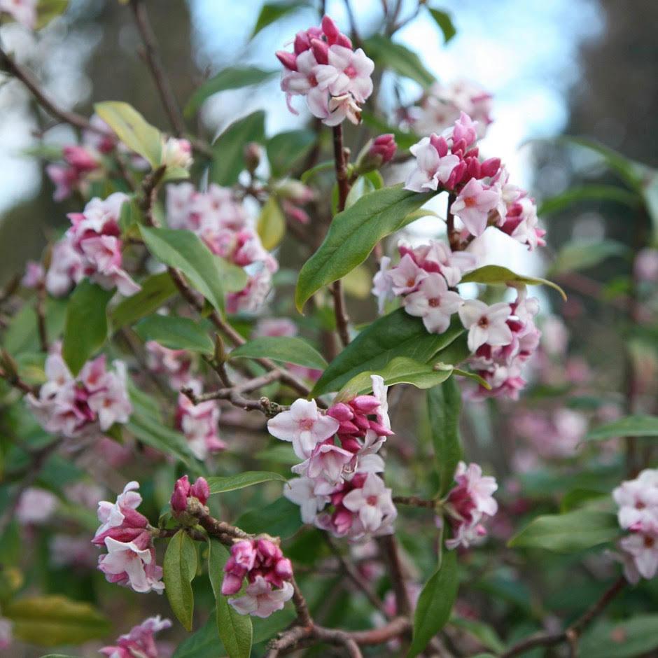 Reuthes - rhododendren